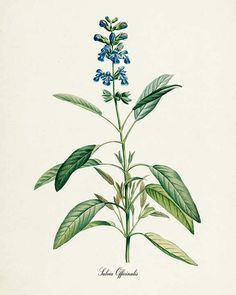Sage Botanical Print  Sage Art Print  Herb Art  by VisualNature