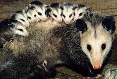Image result for opossums