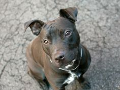 """TO BE DESTROYED - 03/30/14  Manhattan Center -P   My name is HAPPY  A0994348.  I am a female black and white pit bull mix. ***PUPPY ALERT!!! 1YEAR Old Energetic and engaging, SUPER BEHAVIOR EXAM!  Happy may be in need of some remedial training, especially when it comes to house-training. But even at her young age, she already knows to """"sit"""" on command and responds to """"stay""""; and when told to """"come"""", trots over jauntily for a gentle hug. She also knows to take treats gently from my hand."""