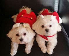 51 Best Maltese Images Cute Baby Dogs Cute Puppies Cutest Animals
