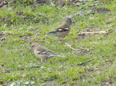 Chaffinches having lunch