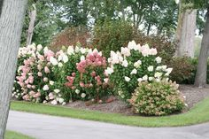 Proven Winners - Zinfin Doll® - Panicle hydrangea - Hydrangea paniculata pink white flowers open white then turn pink from base to tip. Hydrangea Landscaping, Garden Landscaping, Landscaping Ideas, Propagating Hydrangeas, Hydrangea Paniculata, Pink And White Flowers, Autumn Garden, Dream Garden, Gardening Tips