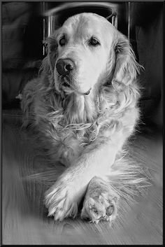 The Versatile Golden Retriever - Champion Dogs Cute Puppies, Dogs And Puppies, Doggies, Pitbull, Animals And Pets, Cute Animals, Fat Dogs, Dog Rules, Retriever Puppy