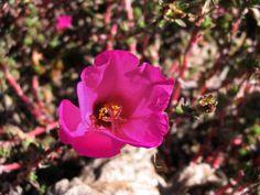 Uruguay's wildlife & Natural sanctuaries - Santuarios naturales & flora y fauna indígena de Uruguay: Moss rose / Portulaca (Portulaca grandiflora)