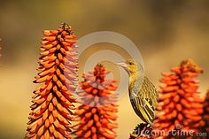 Female Cape Weaver. - Download From Over 50 Million High Quality Stock Photos, Images, Vectors. Sign up for FREE today. Image: 55748083
