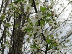 A closeup photo of the white flowers of a tree during the spring.