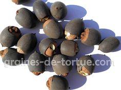graines de lotus à vendre sur graines-de-tortue.com