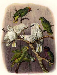 Anton Reichenow: Vogelbilder aus fernen Zonen. Papageien. Kassel, 1878-1883. Kakadu