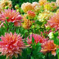 Great Perennial Plants To Grow With Your Favorite Dahlias Plants Plant Combinations Dahlia
