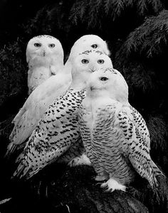 Snowy owl (Bubo scandiacus) A parliament of owls! Beautiful Owl, Animals Beautiful, Animals Amazing, Beautiful Family, Animals And Pets, Cute Animals, Pretty Animals, Wild Animals, Baby Animals