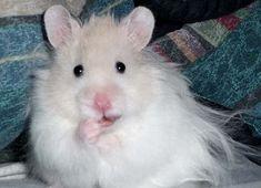 White long haired Syrian hamster.