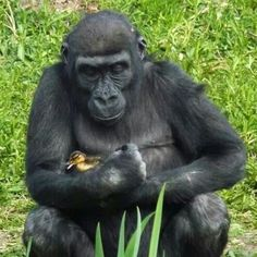 Gorilla and baby duckling
