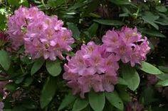 """Résultat de recherche d'images pour """"rhododendron"""""""