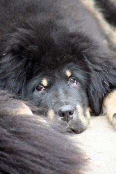 Naylanghi Tibetan Mastiff, Monkey, Dogs, Animals, Jumpsuit, Animales, Animaux, Pet Dogs, Monkeys