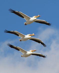 Wildlife Photo of the Day - October 17, 2016: Three American white pelicans (Pelecanus erythrorhynchos) in flight near Laramie, Wyoming.