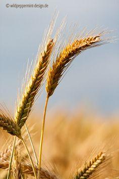 Sommermorgen, Landsommer, Sommerland, Sommer auf dem Land, Getreide reif, reife Ähren, Triticale, Getreide im…