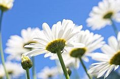 So fresh.....so summer! Remembering daisies in our pasture on my childhood farm