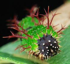 JOJO POST MICRO WORLD: Sergeant Butterfly Caterpillar.