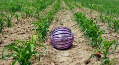 Rolling robot offers help to farmers The trick used by hamsters to get an exercise ball rolling are helping to power a spherical Field trials have shown the Rosphere could help monitor soil conditions on arable land Engineering Technology, Science And Technology, Futuristic Technology, Computer Technology, Technology News, Drones, The Future Is Now, Urban Farming, Information Technology