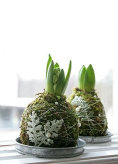 Runt hyacintlöken binds mossa fast med silvertråd försedd med små pärlor. Några blad silverek förgyller. Vattna genom att försiktigt fukta mossan med vattenspruta.