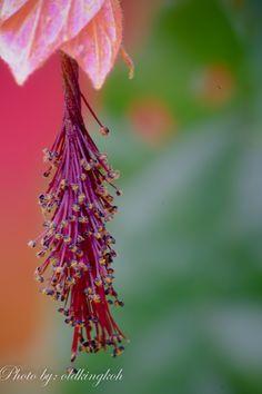 #Physalis #gardensbythebay #flowerdome #flora