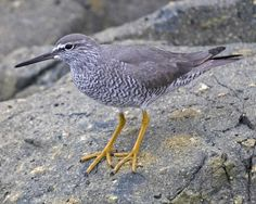 """Wandering Tattler (Tringa incana) Along rocky shorelines on the west coast, this gray sandpiper clambers actively over the boulders. If you get too close, the bird gives a loud """"tattling"""" call & flies away, spooking the other shorebirds. """"Wandering"""" refers to the wide distribution of this species: In winter it is found along Pacific coastlines from North America to Australia, including innumerable islands in the southwest Pacific. In summer, it goes to high mountains in Alaska & NW Canada."""