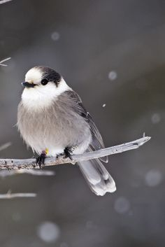 Gray Jays Named Canada's National Bird. It's smart, friendly and tough, doesn't migrate south, will sit on eggs at minus 30 degrees and is cute as a button.