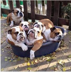 Grumpy English Bulldog Faces, when you have to all share the same Bed