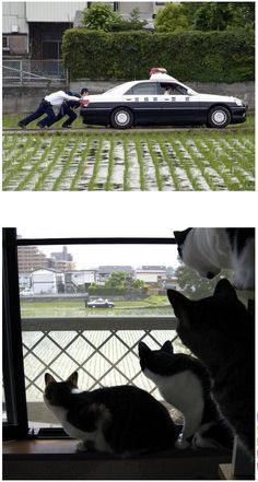 Japanese cats find men pushing a disable Japanese police car as interesting. Japanese Funny, Japanese Cat, Funny Animal Pictures, Funny Animals, Cute Animals, Gato Bobtail, Funny Cute Cats, Curious Cat, Kawaii Cat