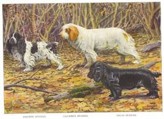 1919 imprimer Cocker Épagneul Clumber Spaniel et Field Spaniel par Louis Agassiz Fuertes