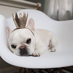 """""""Mom, but I'm a boy!"""", Theo the French Bulldog does not enjoy being Mommy's little Princess ; }"""