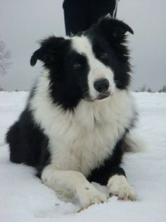 my border collie in the snow
