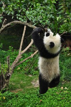 Chengdu Panda Base, Sichuan, China
