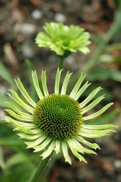 1000 images about piet oudolf plant introductions for Piet oudolf plant list