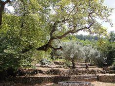 I ♥ Greece - Kefalonia - olive trees