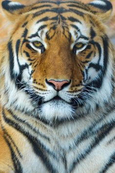 Bengal Tiger by Zagham ul Islam on 500px