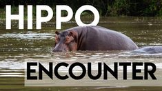 I had an encounter with a Hippo, on land. See the video and find out what you need to do Hippopotamus, Animals, Animales, Animaux, Animal, Animais