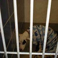 Pictures of *PATCHES a Pit Bull Terrier for adoption in Austin, TX who needs a loving home.