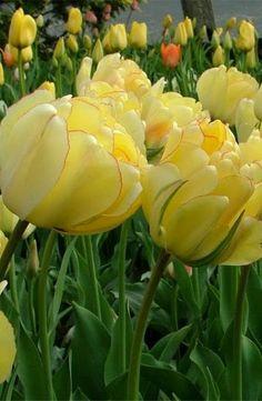 Displaying Tulip 'Akebona' ~ a stunning, semi-double tulip.jpg