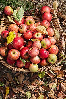 사과유화 Bountiful Harvest, Apple Harvest, Apple Tree, Red Apple, Apple Information, Fruit Picture, Apple Orchard, Weird Food, Delicious Fruit
