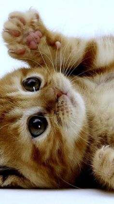 too cute orange kitten