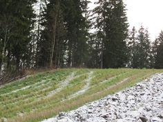 Italian raiheinä vihertää ennen talven tuloa. Kuva Kari Koppelmäki