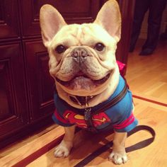 """Why?...because I'm SUPERMAN, that's why!"", A very bossy French Bulldog"
