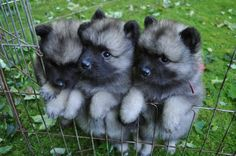 Keeshond puppies I helped give birth to, at 5 weeks old. - Imgur