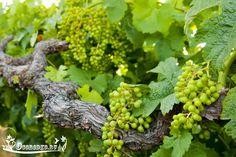 От правильного полива винограда летом зависит качество и количество будущего урожая. Узнайте, каким способом лучше поливать виноград и почему. Стоит ли применять капельный полив? Ответы на все вопросы читайте в статье