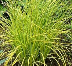 Japanese Golden Sedge-Zones 5-9. Attractive, mounding ornamental grass with stiff lustrous green and creamy white striped blades. Great low border or groundcover, or use in pots or rock gardens. Adds a wonderful effect near ponds and water gardens. Evergreen in winter. Partial Shade to Shade.