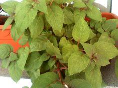 Cum se inmulteste fuchsia (cercelusul) - magazinul de acasă Plant Leaves, Vegetables, Plant, Vegetable Recipes, Veggies
