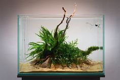 Favourites: simple tank by George FarmerThis is what George Farmer did on an event at the green machine. Simple and effective. Aquarium Aquascape, Betta Aquarium, Planted Aquarium, Aquascaping Plants, Mini Aquarium, Aquarium Landscape, Betta Fish Tank, Nature Aquarium, Aquariums