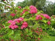 Rosehagtorn