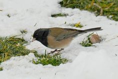 Junco - One of my kids favorite birds to watch for...always meant winter was on the way.